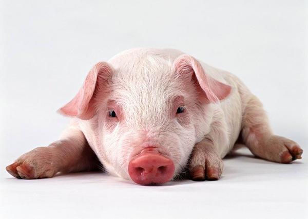 porc-contamin.jpg