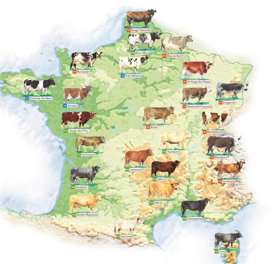 Les races bovines en France
