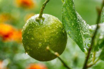 Soupe de pêche à la crème anglaise parfumée au citron vert