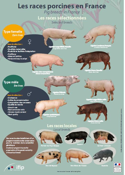 Les races porcines en France